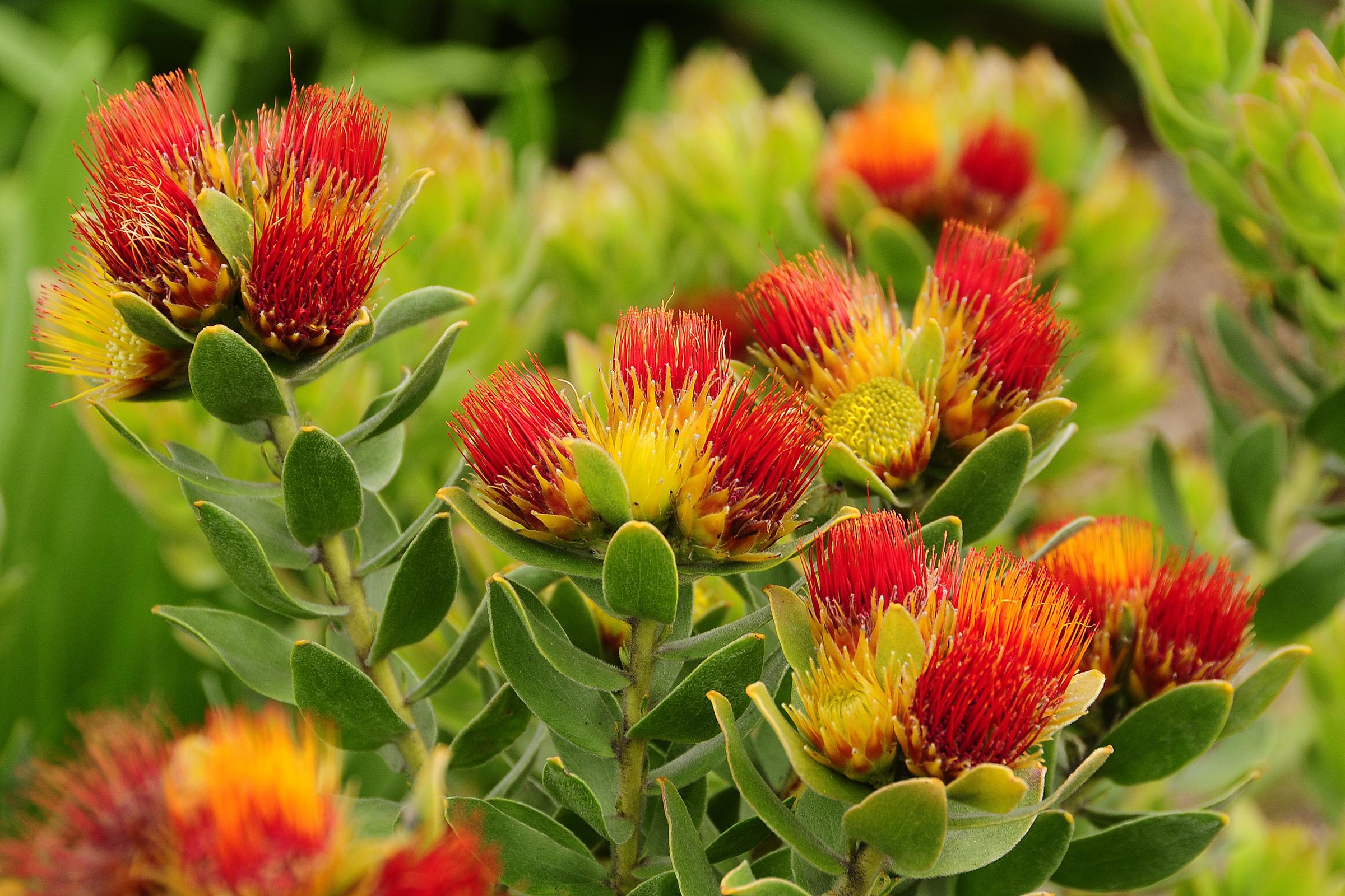 Növények (Dél-Afrika)