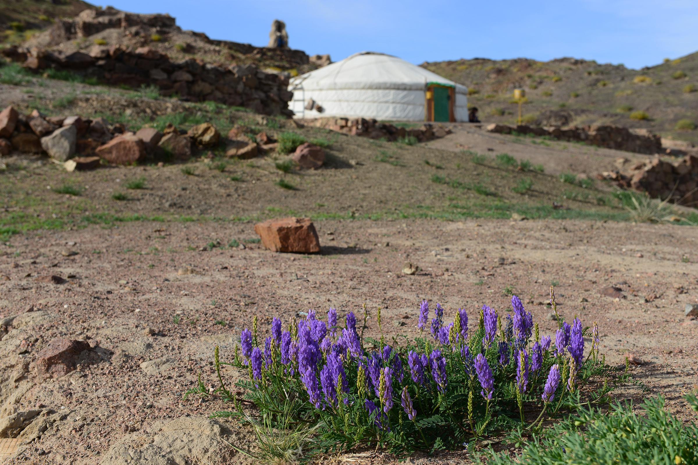 Növények (Mongólia)
